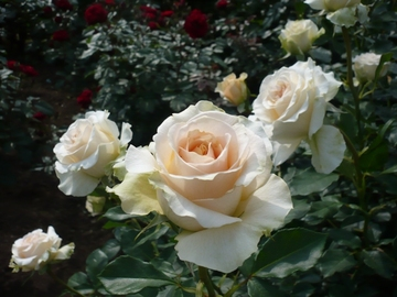 Roses_010_s